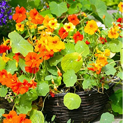 Earthcare Seeds Nasturtium Dwarf Jewel Mix 60 Seeds (Tropaeolum majus) : Nasturtium Plants : Garden & Outdoor