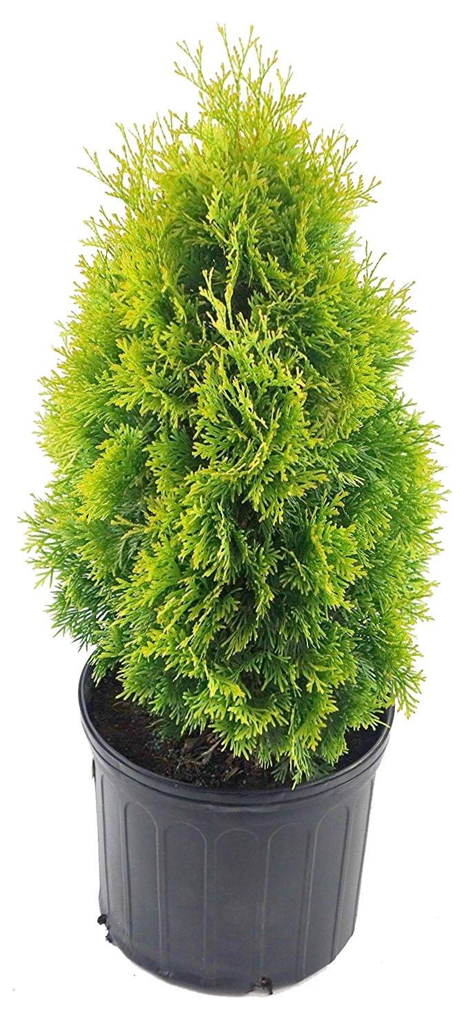 Thuja occidentalis 'Jantar' (Arborvitae) Evergreen, #3 - Size Container