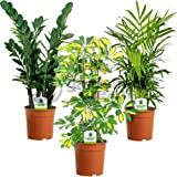 Indoor Plant Mix - 3 Plants - House/Office Live Potted Pot Plant Tree (Mix A - Schefflera Gerda, Zamioculca Zamiifolia & Chamaedorea Elegans)