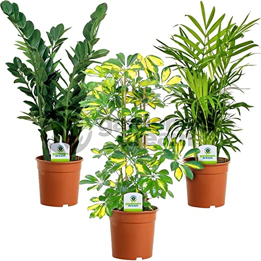 Indoor Plant Mix - 3 Plants - House / Office Live Potted Pot Plant ...