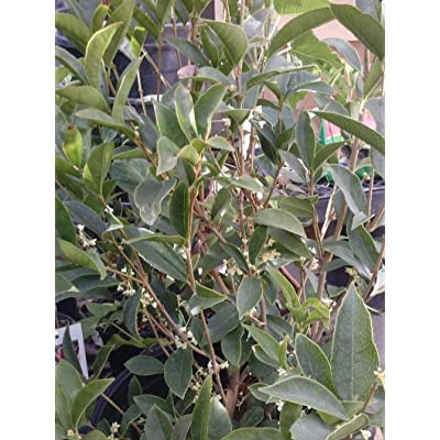 AchmadAnam - Live Plant - Sweet Olive (Osmanthus Fragrans) - 1 Plants - 1 to 2 Feet Tall - Ship in 1 Gal Pot. E9 : Garden & Outdoor