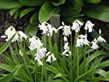 25 HYACINTHOIDES HISPANICA White City A.K.A Wood