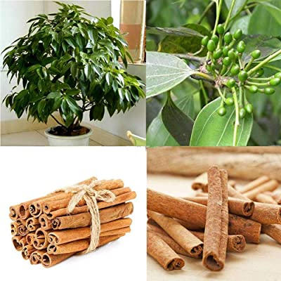 20pcs Cinnamon Seeds Indoor Plants Evergreen Tree Seeds herb Traditional Home : Industrial & Scientific