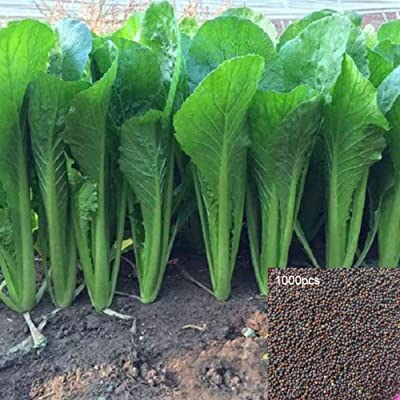 Pak Choi Seeds, 1000Pcs Chinese Cabbage Pak Choi Bok Choy Edible Vegetable Garden Farm Plant - 1000pcs Pak Choi Seeds by Angel3292 : Garden & Outdoor
