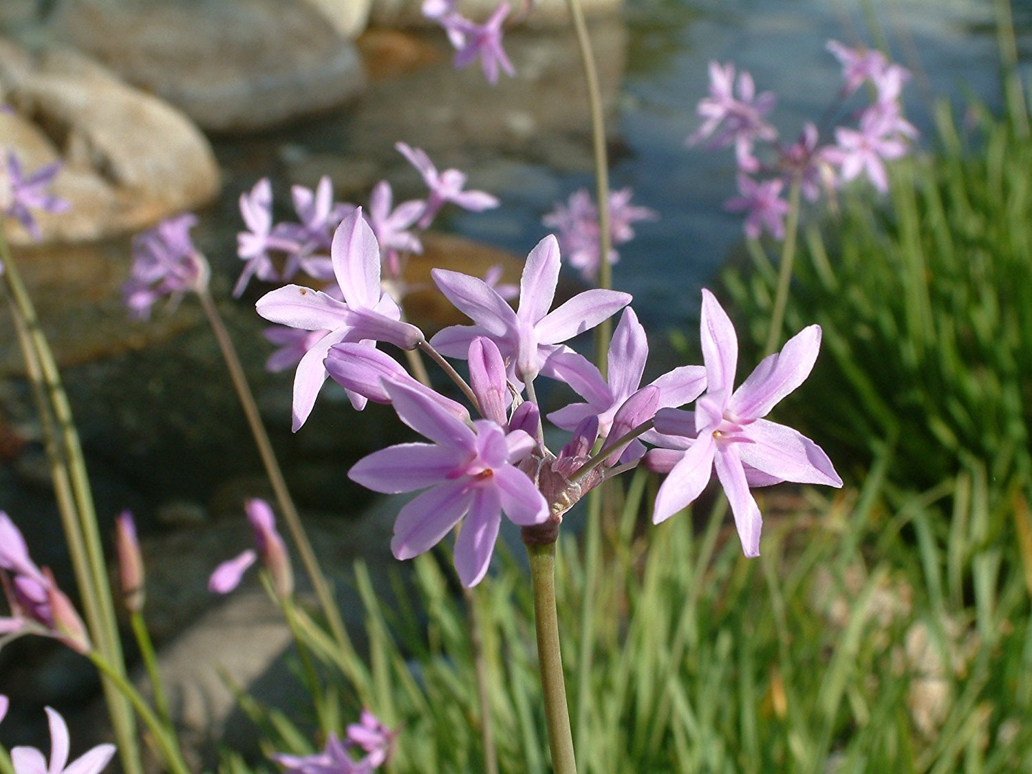 Society Garlic Qty 60 Live Plants Tulbaghia Violacea Ground Cover Perennial