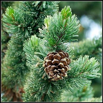 10 Seeds of Pinus aristata, Hickory Pine, Foxtail Pine, Rocky Mountain Bristlecone Pine, Colorado Bristlecone Pine : Garden & Outdoor