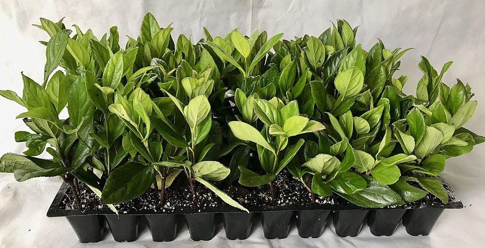 Viburnum Suspensum - 10 Live Plants - Evergreen Privacy Hedge