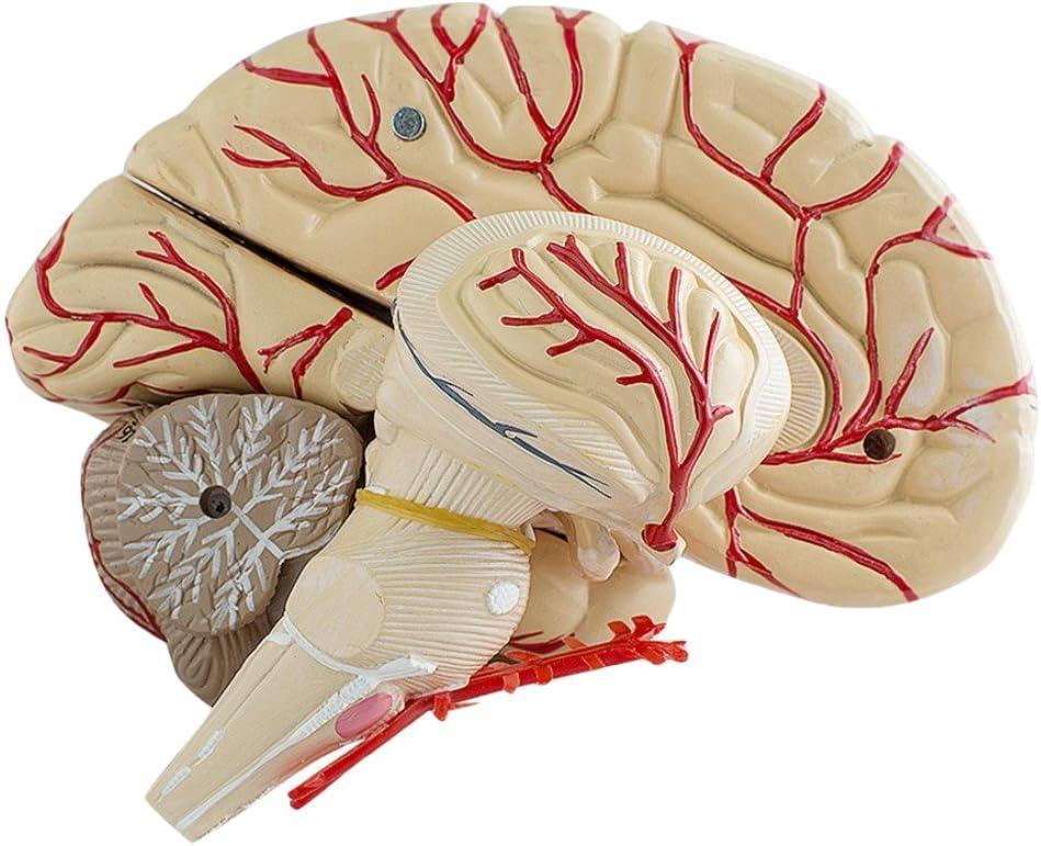 F Fityle Modelo Plástico de Cerebro Modelo de Demostración Educación Científica
