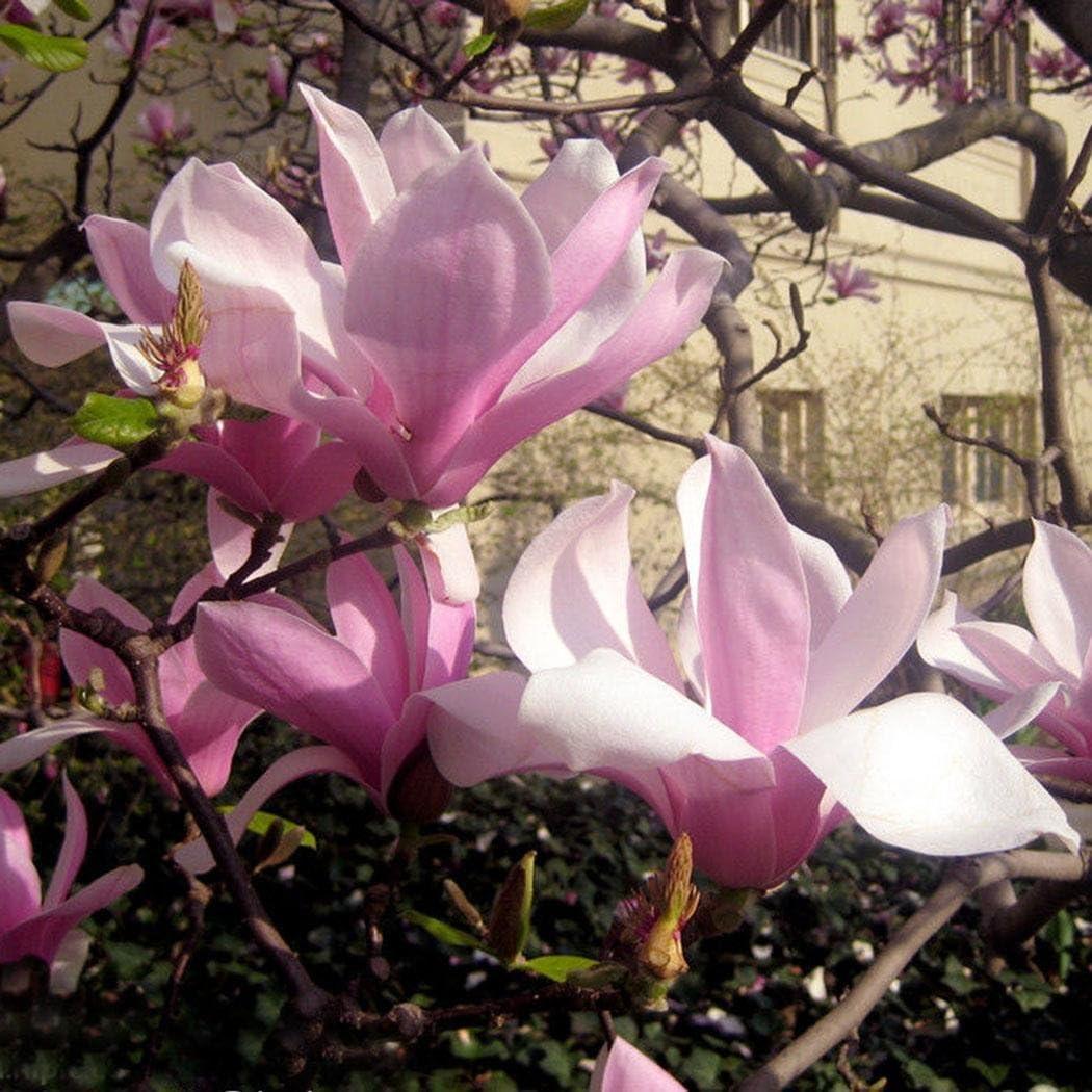 FastDirect Semillas de Magnolia Multicolor Semillas de Flores 20 PCS Semillas de Arboles para Jardin Morado Huerto Patio