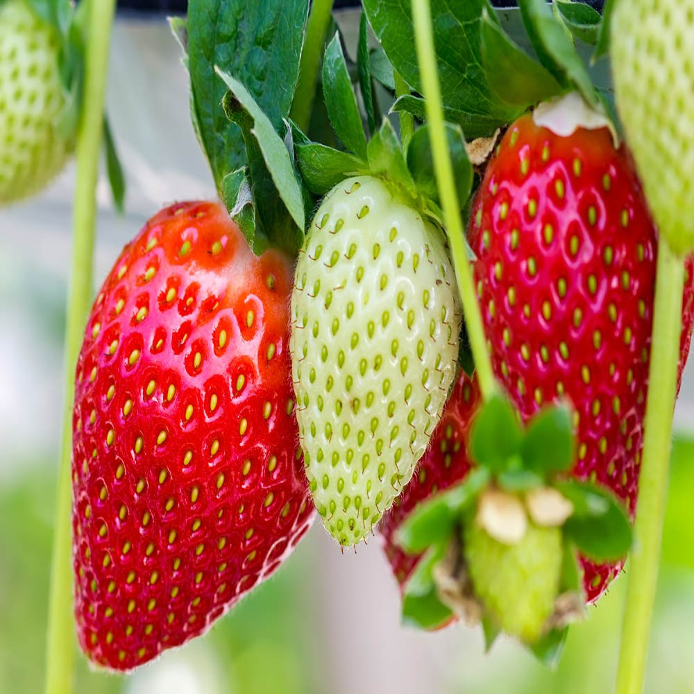 Ozark Everbearing 100 Live Strawberry Plants, Non GMO, by Hand Picked Nursery