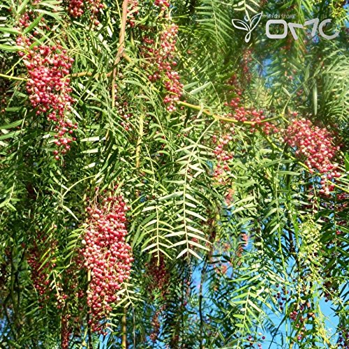 (20 seeds) Schinus Molle / California Pepper Tree / Brazilian Pepper (California Trees Pepper)