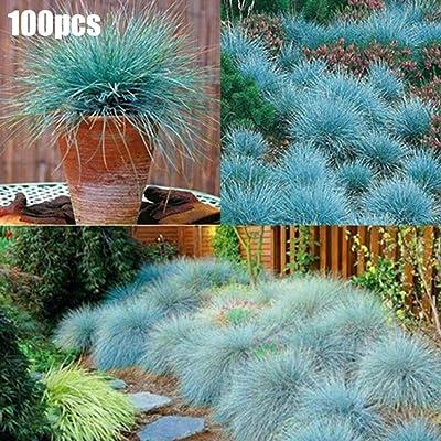 Lx10tqy 100Pcs Blue Fescue Grass Seeds Perennial Ornamental Garden Festuca Glauca Plant - Blue Fescue Seeds : Garden & Outdoor