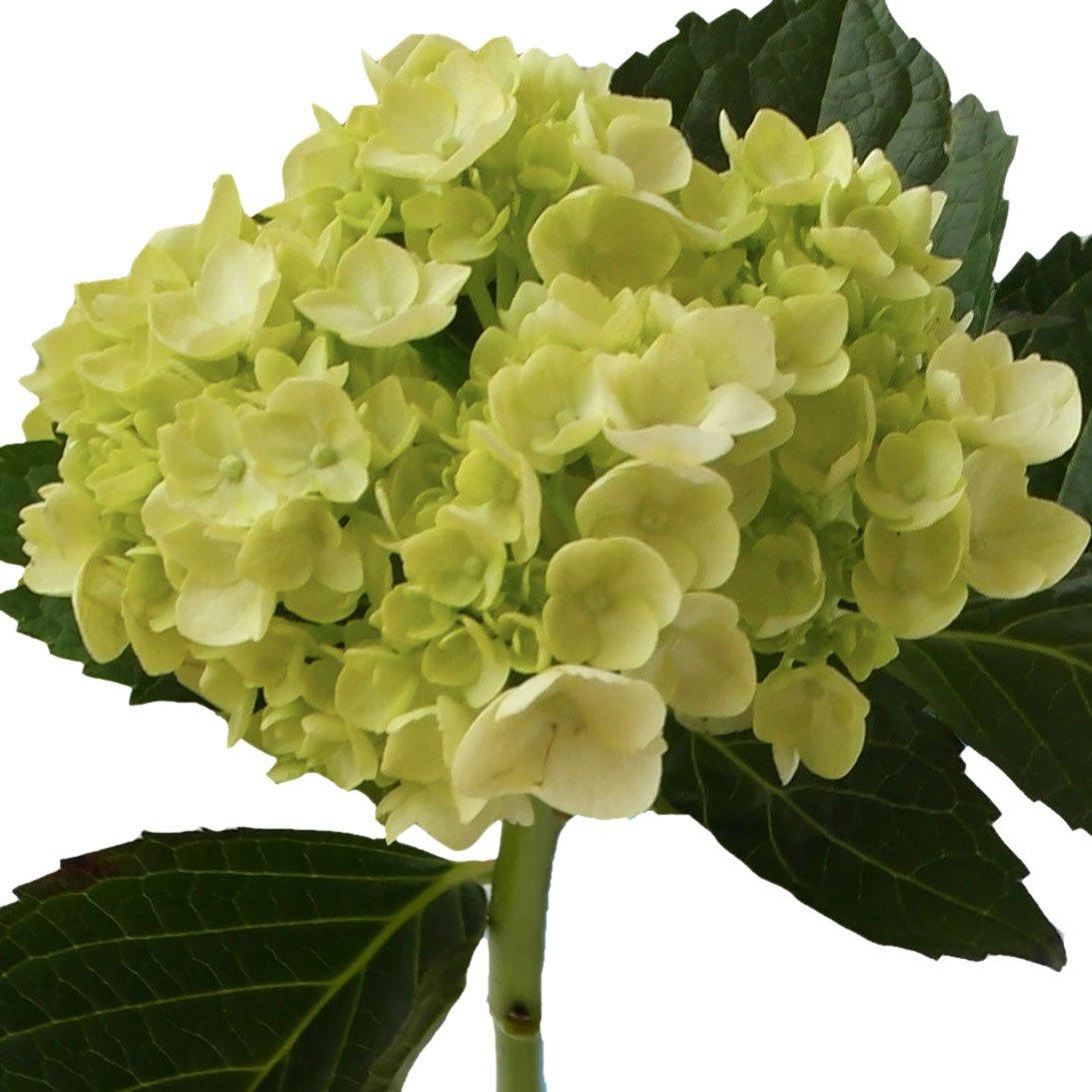 GlobalRose 10 Fresh Cut Green Mini Hydrangeas - Fresh Flowers For Weddings or Anniversary. by GlobalRose (Image #1)