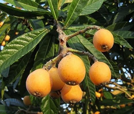 I semi nespolo giapponese Nespolo Tropical fruttificazione perenne ornamentale Albero da frutto 5