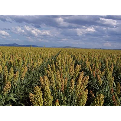 50 MENNONITE SORGHUM SUGAR CANE Sorghum Bicolor Grain Vegetable Seeds : Vegetable Plants : Garden & Outdoor