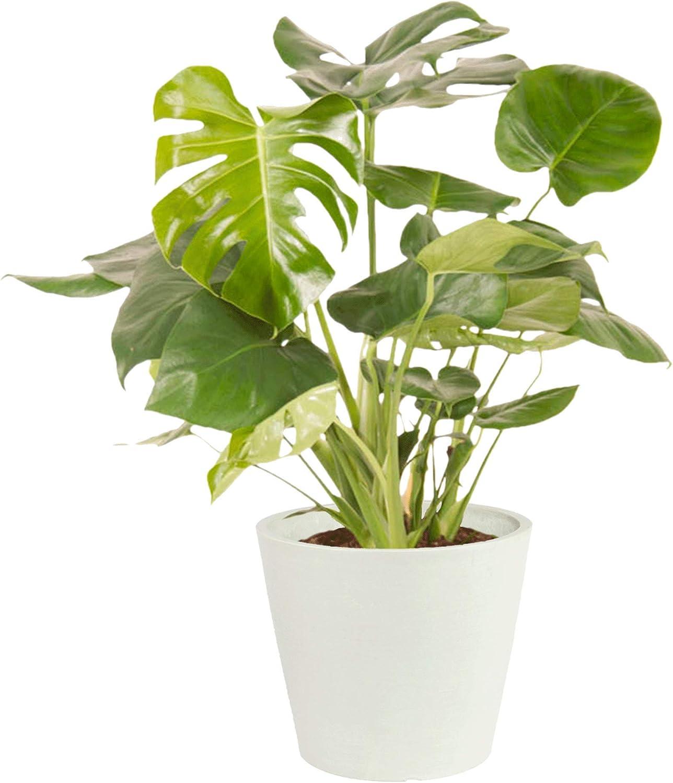 Philodendron Monstera Deliciosa, plantas verdes | Planta interior | Altura 70 cm | Maceta 24 cm | Hoja Tropical (blanco)