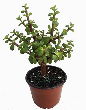 "Amazon.com : Mini Jade Plant - Portulacaria afra - 4"" Pot ..."