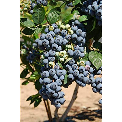 "(1 Gallon)""Premier"" Blueberry Shrub - Highly Productive. One of The Best for Fresh Eating and Freezing. Great Taste, Large Fruit : Garden & Outdoor"