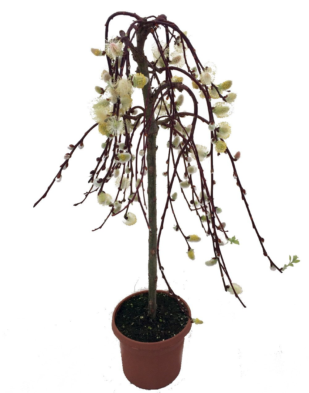 Amazon tree of enchantment mini weeping pussy willow tree amazon tree of enchantment mini weeping pussy willow tree bonsai or outdoors 6 pot tree plants garden outdoor biocorpaavc Image collections