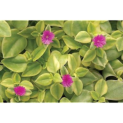Magenta Purple Sun Rose Heart Leaf Ice Plant - Aptenia Cordifolia Succulent : Garden & Outdoor