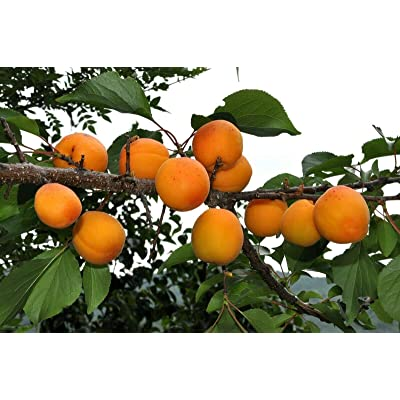 Manchurian Apricot 5 Seeds - Prunus Armeniaca Mandshurica Seeds, Premium Quality Fruit Trees Live Plants, Non GMO Fruit Seeds, Apricot Tree Seeds for Planting Home Garden : Garden & Outdoor