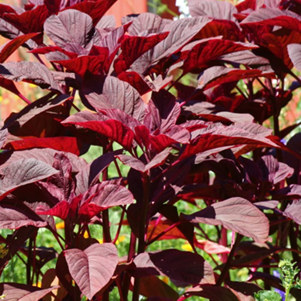Kerala Red Amaranth Seeds - 30+ Rare Organic Non-GMO Heirloom Grain Seeds in FROZEN SEED CAPSULES for The Gardener & Rare Seeds Collector - Plant Seeds Now or Save Seeds for Years