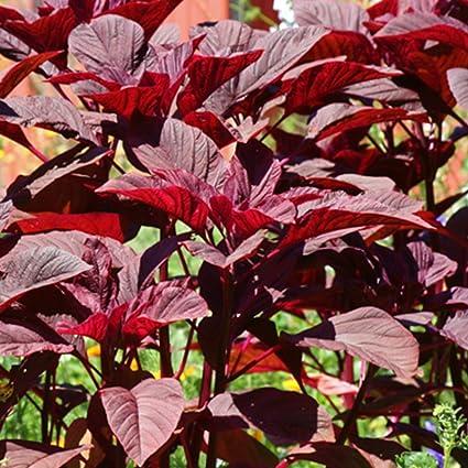 amazon com kerala red amaranth seeds 30 rare organic non gmo