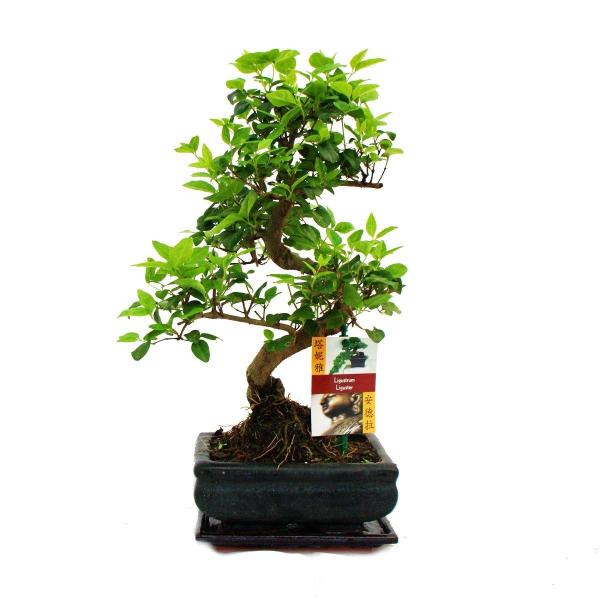Bonsai Ligustrum 7 yrs old - 1 tree Gardens4you