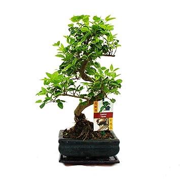 Liguster Bonsai 7 Jahre - 1 baum: Amazon.de: Garten