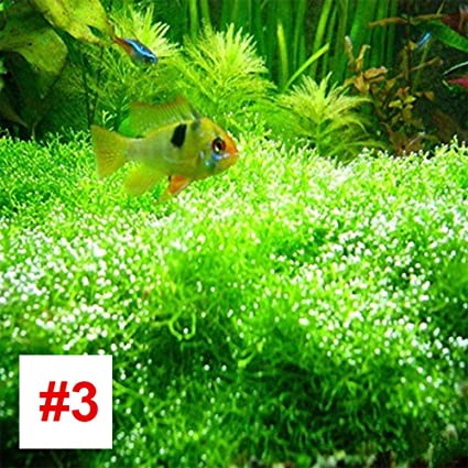 Rosepoem Acuario Planta acuática Semilla Tanque de Peces Agua Hierba Semilla Templo de Acuario Semillas de