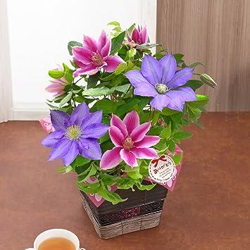 c014c3bfd7ecd Amazon|母の日ギフト 鉢植え 華やかな2色植えクレマチス 【イイハナ ...