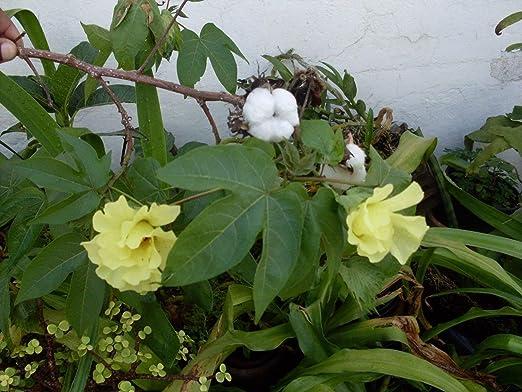 20 semillas frescas Gossypium barbadense planta de algodón: Amazon.es: Jardín