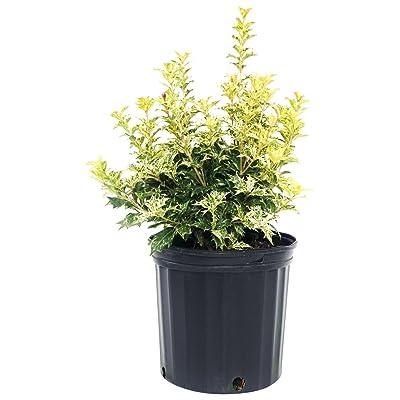Osmanthus heterophyllus 'Goshiki' (False Holly) Evergreen, #2 - Size Container: Garden & Outdoor