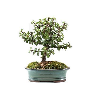 Indoorbonsaiandexotics Baby Jade Bonsai Indoor Tree in 8 Inch Pot: Garden & Outdoor
