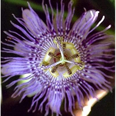 Passion Flower Incarnata Maypop Vine Seeds - Food Source for Butterflies, Their Larvae, Or You!! - Passiflora Incarnata Perennial : Garden & Outdoor