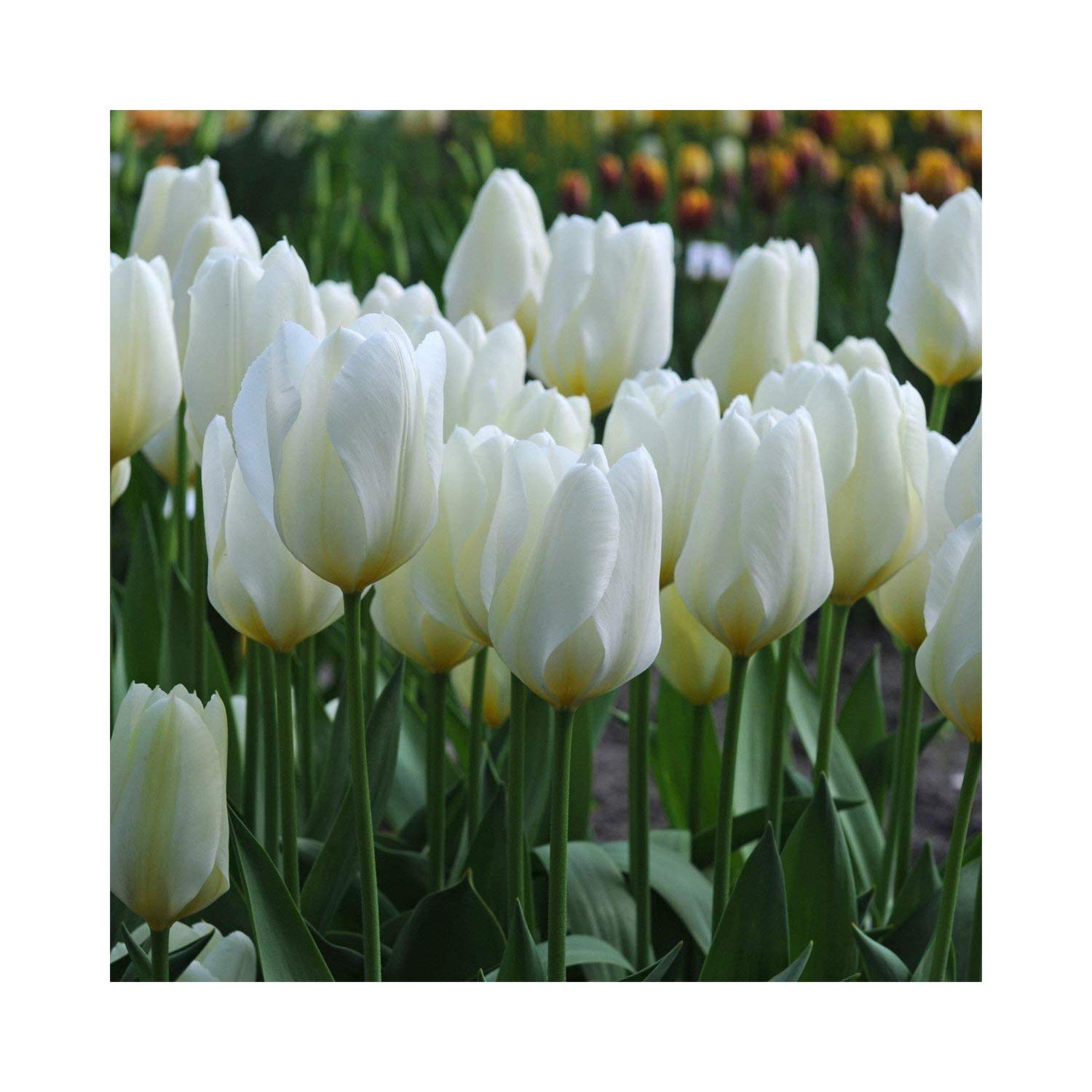 50 Tulip 'Purissima' White Tulips Spring Flowering Bulbs, Flowering Guarantee by Plug Plants Express Limited