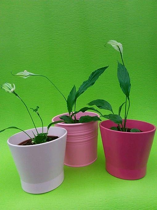 Portal Cool 3 Plantas de la Flor del Lirio de Paz Spathiphyllum ...