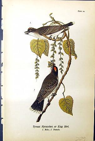 Amazon|Bird タイランチョウ科...