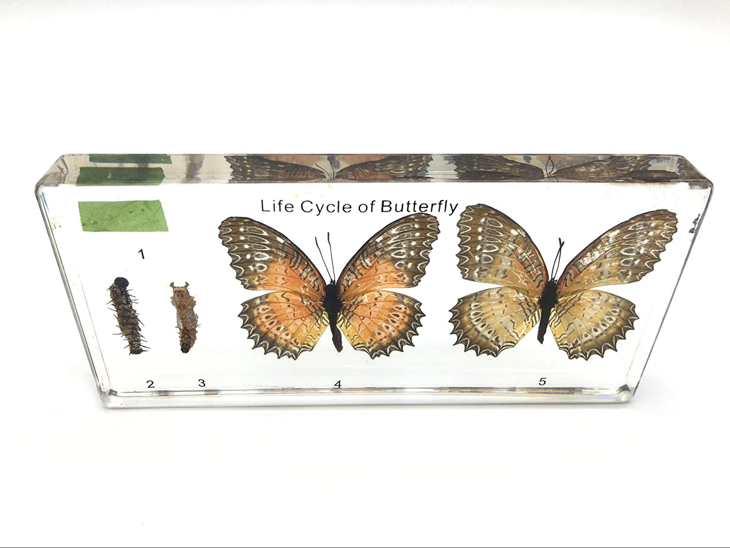Lifecycle of a Butterfly Science Classroom Specimens for Science Education Amazingbug