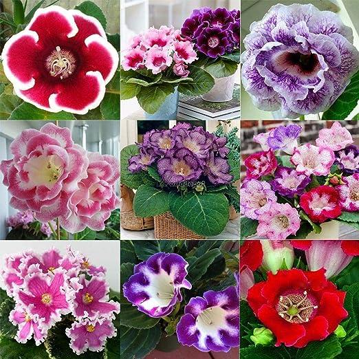 Plantree tipo4 10: Plantas Ornamentales de jardín Plantas de jardín Gloxinia Valentino Rossi wt88 02: Amazon.es: Jardín