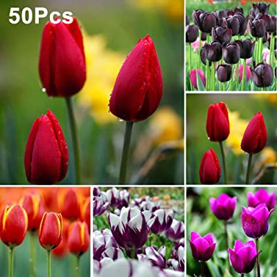 Mggsndi 50Pcs Tulip Bulbs Flower Seeds Garden Yard Growing DIY Home Bonsai Plant Decor - Heirloom Non GMO - Seeds for Planting an Indoor and Outdoor Garden Purple Tulip Seeds : Garden & Outdoor