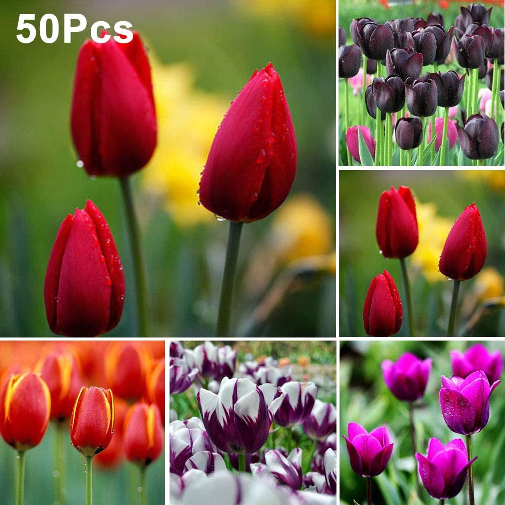 Lovejoy Store - Lote de 50 bombillas de tulipán para flores, Semillas, Semillas de Tulip, morado