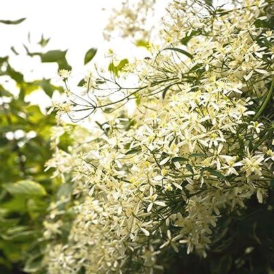 Sweet Autumn Clematis seeds - Clematis mandshurica : Garden & Outdoor
