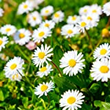 Daisy comune, semi di margherita del prato - Bellis perennis
