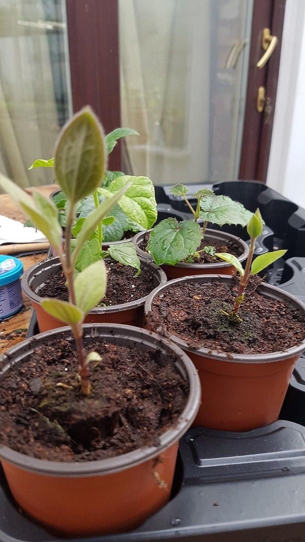 Clematis Hybrid 'Miss Bateman' Large Flowering Plug Plant climbing shrub by Leegillard (1)