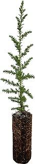 product image for Santa Cruz Cypress | Medium Tree Seedling | The Jonsteen Company
