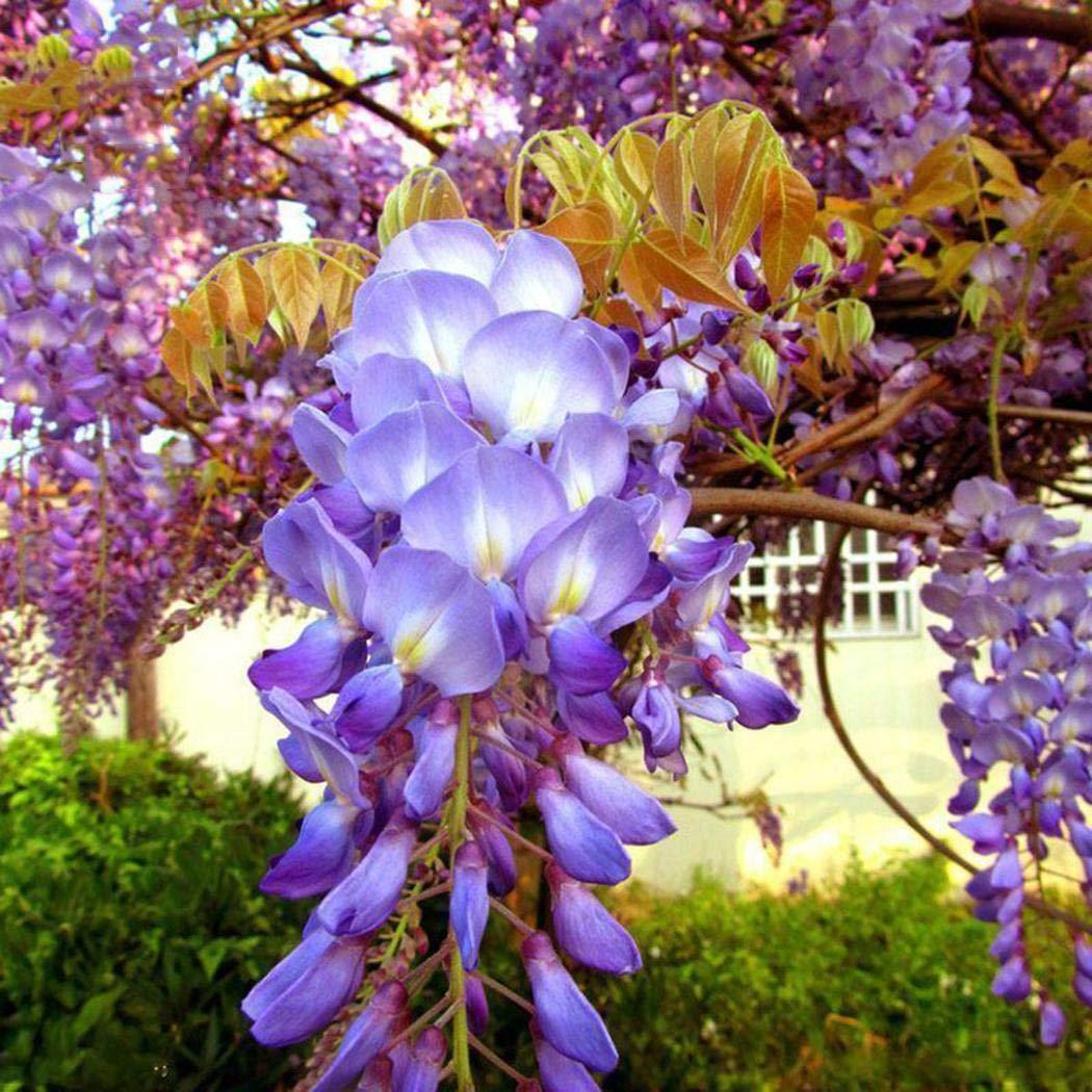 Idomeo Perennial Beautiful Flower Wisteria Seeds Garden Climbing Plant Flowers