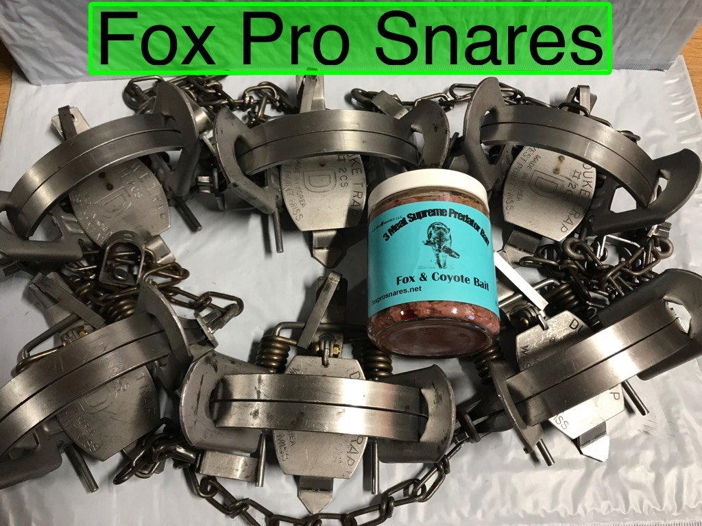 6 Duke #2 coil spring traps with 1 FREE jar of FPS 3 meat supreme Bait fox, coyote, bobcat, raccoon