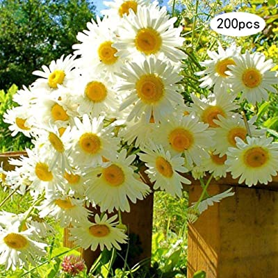 LEANO 200 Pcs Organic Chamomile Seeds Flowers NO GMO Home Gardening Ornamental Flower Fragrant Flower for Home Garden Planting : Garden & Outdoor
