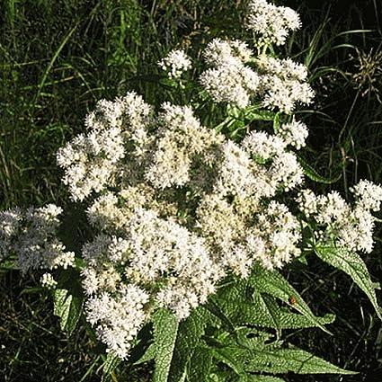 2000 Boneset Wildflower Seeds Everwilde Farms Mylar Seed Packet